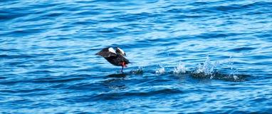 跑在水的黑海雀科的鸟在缅因 免版税库存图片