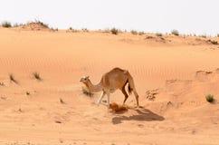 跑在沙丘下的骆驼 免版税库存照片