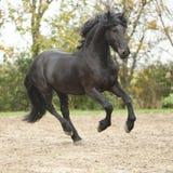 跑在沙子的黑黑白花的公马在秋天 免版税库存图片