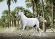 跑在沙漠的纯血统白色阿拉伯马 免版税库存照片