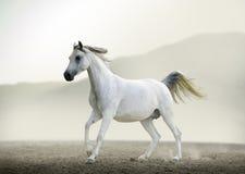 跑在沙漠的纯血统白色阿拉伯马 免版税库存图片