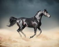 跑在沙漠的阿拉伯马 库存照片