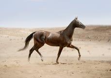 跑在沙漠的Akhal-teke马 库存照片