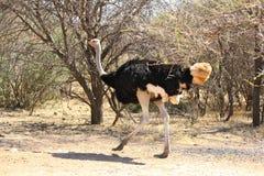 跑在泥铺跑道路的驼鸟在博茨瓦纳 免版税库存图片