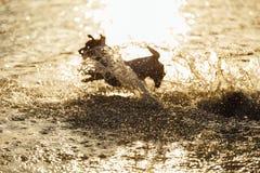 跑在海中水的狗  免版税库存图片