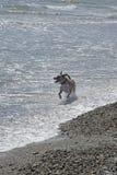 跑在海浪的狗 免版税库存图片