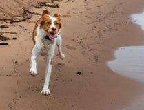 跑在海滩沙子的愉快的布里坦尼在夏天 库存图片