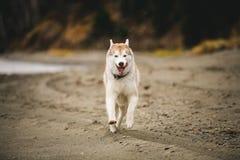跑在海滩的愉快和快速灰棕色和白色西伯利亚爱斯基摩人狗的图象在海边在秋天 免版税库存图片