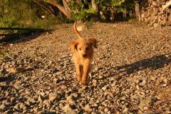 跑在海滩的金黄乱画小狗 图库摄影