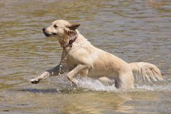 跑在海的金毛猎犬狗 库存照片