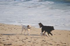 跑在海滩的三条狗 库存照片