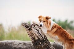 跑在海滩的红色博德牧羊犬 库存照片