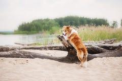 跑在海滩的红色博德牧羊犬 免版税库存图片