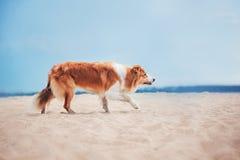 跑在海滩的红色博德牧羊犬 库存图片