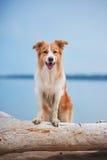 跑在海滩的红色博德牧羊犬 免版税库存照片