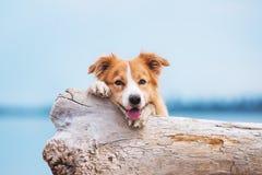 跑在海滩的红色博德牧羊犬 免版税图库摄影