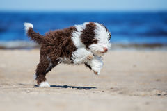 跑在海滩的西班牙水猎狗小狗 库存照片