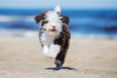 跑在海滩的西班牙水猎狗小狗 库存图片