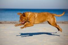 跑在海滩的Dogue de bordeaux狗 图库摄影