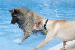 跑在游泳池的两条狗 库存图片