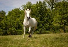 跑在牧场地的壮观的白色阿拉伯马 免版税库存图片