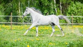 跑在牧场地的白马在夏天 库存照片