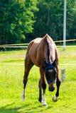 跑在牧场地的美丽的棕色马 免版税库存图片