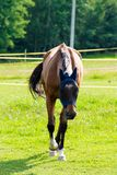 跑在牧场地的美丽的棕色马 库存图片