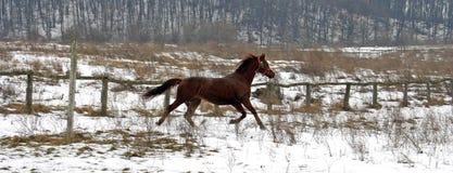 跑在牧场地的美丽的马 免版税库存照片