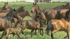 跑在牧场地的马牧群在秋天 股票视频