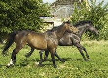 跑在白色木篱芭附近的两匹马 库存照片