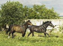 跑在白色木篱芭附近的两匹马 免版税库存照片