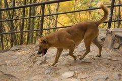 跑在秋天的狗 免版税库存图片