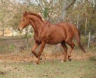 跑在秋天的美丽的栗子纯血种马 免版税库存照片