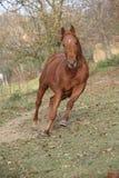 跑在秋天的美丽的栗子纯血种马 免版税库存图片