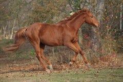 跑在秋天的美丽的栗子纯血种马 库存照片