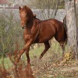 跑在秋天的美丽的栗子纯血种马 库存图片