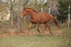 跑在秋天的美丽的栗子纯血种马 免版税图库摄影