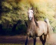 跑在秋天自然背景的幼小阿拉伯马 免版税库存照片