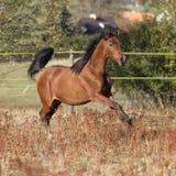跑在秋天pasturage的华美的阿拉伯马 图库摄影