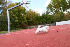 跑在红色地板上的逗人喜爱的马耳他狗 图库摄影