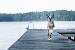 跑在船坞的精力充沛的狗在湖 库存图片