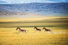 跑在草原的野驴 库存照片