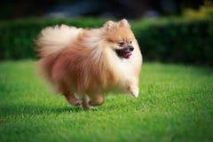 跑在草坪的Pomeranian狗 免版税库存图片