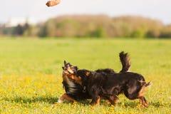 跑在草甸的两只澳大利亚牧羊犬 库存图片