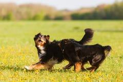 跑在草甸的两只澳大利亚牧羊犬 免版税库存图片