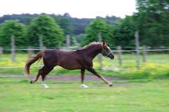 跑在草甸的马 免版税库存图片