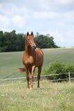 跑在草甸的令人惊讶的Budyonny马 免版税库存图片
