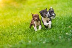 跑在草的小狗在阳光下 逗人喜爱的小狗背景 库存图片