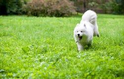 跑在草的愉快的萨莫耶特人狗 开放的嘴 免版税库存照片